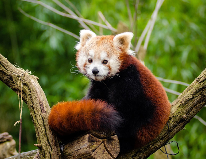"Asia The Red Panda, or ""firefox,"" or ""lesser panda"