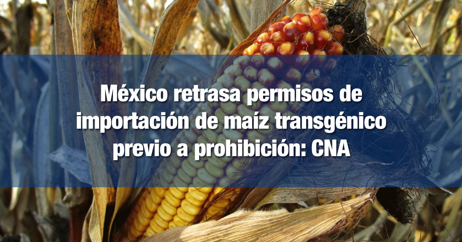 México retrasa permisos de importación de maíz transgénico previo a prohibición: CNA